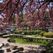 白井宿  満開の八重桜  2018/4月19日