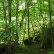 八ケ岳のコマクサ(2)