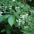 オオバアサガラの花