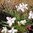 花海棠、ロックガーデン三種、暗渠作業