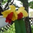 珊瑚花とミニカトレア満開