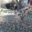 柿の木の剪定 Ⅰ