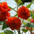 赤いベゴニアの花