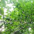 果樹の様子