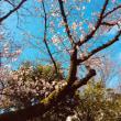 FJB前桜開花状況♪