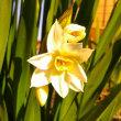 素朴な水仙の花