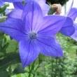 キキョウの花