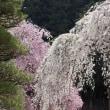 秩父武州中川「清雲寺の垂れ桜」2