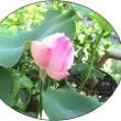 二つ目の蓮の花