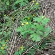 クサノオウはタケニグサの葉に似ている