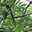 野鳥の世界(サンコウチョウ)