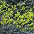 黄色の花だらけ、ダンコウバイだそうな。