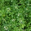 温室の花:ショウジョウソウ