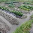 畑、水いっぱい・・・