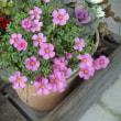 オキザリス:今時咲く花