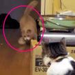 ♂猫だいずがでんぐり返りする様子がおもしろい【ひとり遊びする猫】