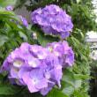 紫陽花終盤