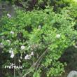 「矮鶏丁香花が咲きました」 MY GARDEN 2018.06.08撮影