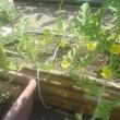 長茄子の花