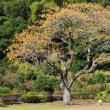 旧吉野方小学校の校庭には、大きなセンダンの木があります。 (Photo No.14121)