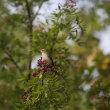 イヌザンショウの実を食べる夏鳥 キビタキメス