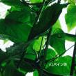 パッションフルーツを育てる 2017年 緑のカーテン完成!