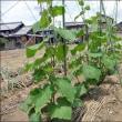7月の畑 (平成豪雨大災害)