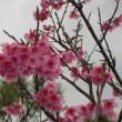 2018年2月「嘉数の桜」