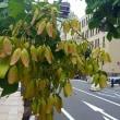 ◆ アオギリの袋果(たいか)