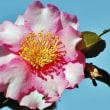 サザンカ 「桜吹雪」