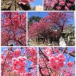 寒緋桜 満開!