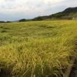 稲刈り続いています。