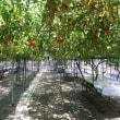 旋盤とトマトの関係