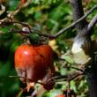 つるした柿に飛びつく、ウグイス。