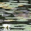 蓮池にコガモ