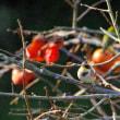 柿を食べるミヤマホオジロ♂初めて確認