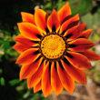 見事なガザニアの花 (Photo No.14293)