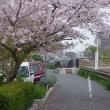 らんの花と桜が同時に咲きました)