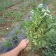 やっぱり枝豆は防虫ネットが必須でした