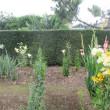 カサブランカが咲きだしました。