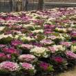 素晴らしきハボタン花壇