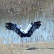 大きく翼を広げた、コウノトリ。