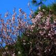『桜咲く』 豆桜