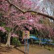 枝垂れ桜と横濱緋桜