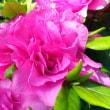 八重咲きのツツジ