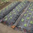 畑の野菜の芽が出ました