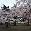☆満開の桜の下でランチ☆