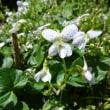 白根葵2色と菫3色庭だより 4/19誕生花・・・アマランサス