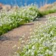 ハマダイコンの花が