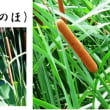 蒲の穂「ガマ ノ ホ」